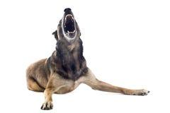 Angry malinois Stock Image
