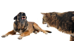 Angry malinois and cat. Purebred belgian sheepdog malinois and cat angry in front of white background Royalty Free Stock Photo