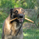 Angry malinois Stock Photos