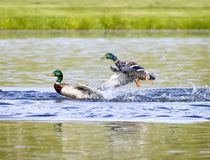 Angry Mallard Duck Launches At Competitor Royalty Free Stock Image