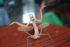 Angry mantis Royalty Free Stock Images