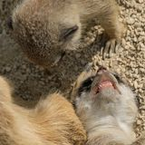 Angry meerkat child is showing her teeth. To another animal Stock Photography