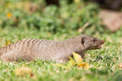 Angry mongoose Royalty Free Stock Photos