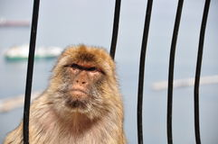 Angry Monkey. Portrait at Gibraltar Royalty Free Stock Images