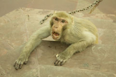 Angry monkey royalty free stock images