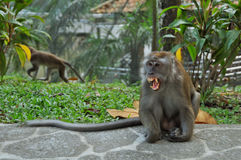 Angry Monkey Royalty Free Stock Image