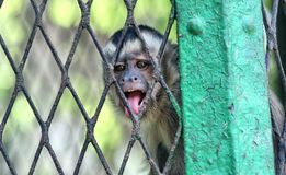 Angry Monkey in cage royalty free stock photo