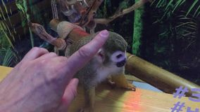 Angry monkey. Contact zoo monkey running around the glass cage animal stock video footage
