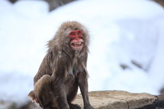 Angry monkey Royalty Free Stock Photos