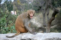 An angry monkey in Kathmandu of Nepal. Royalty Free Stock Photo
