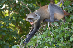 Angry Monkey. Malindi, Kenya monkey in tree showing fangs. Keep away or stay away is what this monkey is saying with an open mouth and teeth showing stock photo