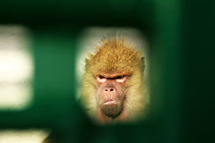 Angry monkey seen from gate. Unhappy monkey seen from a hole in the gate Stock Photos