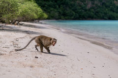 Angry Monkey. On sendy beach of tropical island Royalty Free Stock Photo