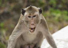 An angry monkey Royalty Free Stock Image
