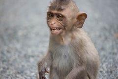 Angry monkeys Stock Image