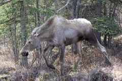 Angry Moose Royalty Free Stock Images