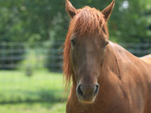Angry Morgan horse in green pasture stock photos