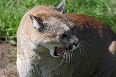 Angry mountain lion Royalty Free Stock Images