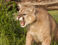 Angry Mountain Lion Stock Photos