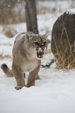 Angry Mountain Lion. A full grown angry mountain lion with mouth open in snow Royalty Free Stock Image