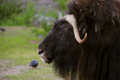 Angry musk ox with big horns. Portrait of an angry musk ox with big horns Royalty Free Stock Photos