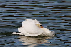 Angry mute swan Stock Images