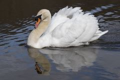 An angry swan on the Ornamental Pond royalty free stock images