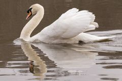 An angry swan on the Ornamental Pond royalty free stock photography