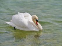 An angry mute swan in the water Stock Photography