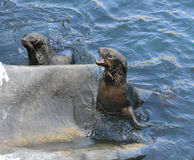 Angry northern fur seal. Callorhinus ursinus stock images