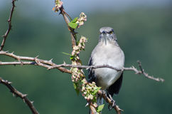 Angry Northern Mockingbird Perched in a Tree Stock Images