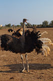 Angry Ostrich Royalty Free Stock Images