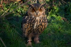 Angry owl Royalty Free Stock Photo