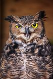 Angry owl close up stock image