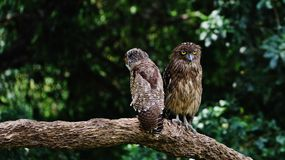 Angry Owls. Owls got angry for family problems Royalty Free Stock Image