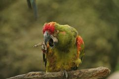 Angry Parrot. An angry, rain-drenched parrot perched on a tree branch Royalty Free Stock Images