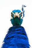 Angry peacock. Portrait of a male peacock looking straight into the camera lens stock image