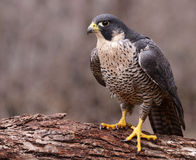 Angry Peregrine Falcon. A Peregrine Falcon (Falco peregrinus) perched on a stump.  These birds are the fastest animals in the world Stock Photos