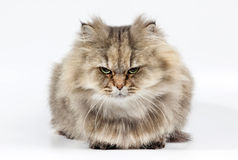 Angry persian cat golden chinchilla Royalty Free Stock Photos