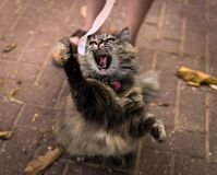Angry cat roaring while trying to catch a pink ribbon royalty free stock photos