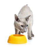 Angry Peterbald Cat Next Bowl Royalty Free Stock Images