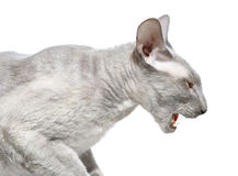 Angry Peterbald Cat Stock Image
