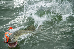 Angry pike. Pike is striking on lure Stock Image