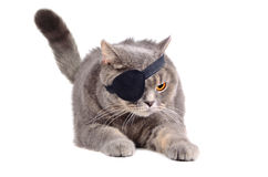 Angry pirate cat. Angry British cat in caribbean pirate costume with eye patch on white background stock images