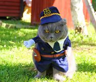 Angry police cat. In blue uniform, in cap, gray Scottish fold cat, sitting, protecting, keeping order stock images