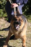 Angry Police Dog. Baring it's teeth and being restrained by a policeman stock image