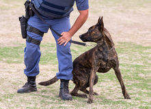 Angry Police Dog and Handler Royalty Free Stock Images