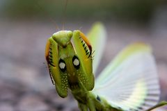 Angry praying mantis. A defensive praying mantis Stock Image