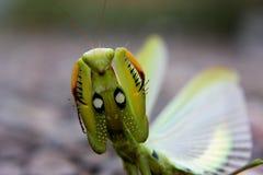 Angry praying mantis Stock Image