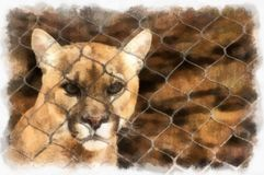 Angry Puma. Digital art - photo manipulation. Angry puma staring out through the fence of his cage royalty free illustration